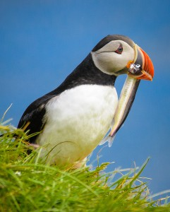 Icelandic Puffin with Catch - 2013 Greater Denver Audubon Society Share the View Show