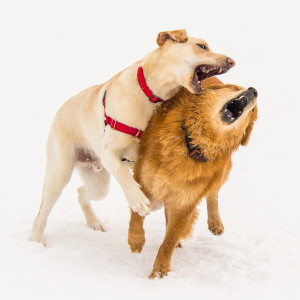"Simpatico - Romping in the Snow - Niza Knoll Gallery ""Gone to the Dogs"" Exhibit"