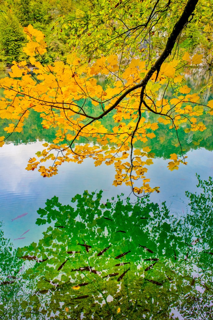 Yellow fall leaves reflect in the fish-filled emerald green water of Plitvice Lakes National Park in Croatia. This is a 2017 RMOWP Best of Show awards winner.