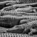 Black and White image of alligators resting in the sun at the Alligator Farm in Mosca