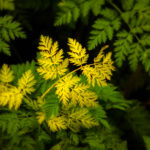 Yellow Fern Stands Out against Green Ferns