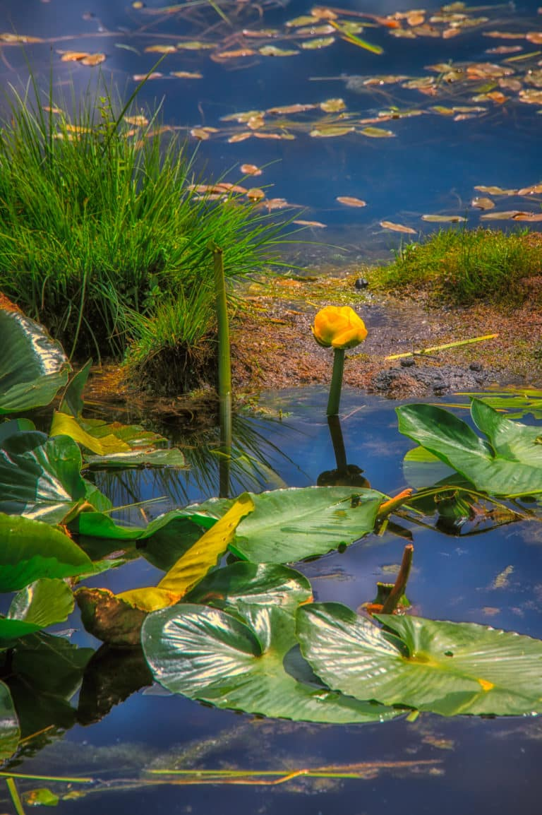 This Colorado Water Lily (Nuphar polysepala) is located in a beaver pond adjacent to Old Lime Creek Road.