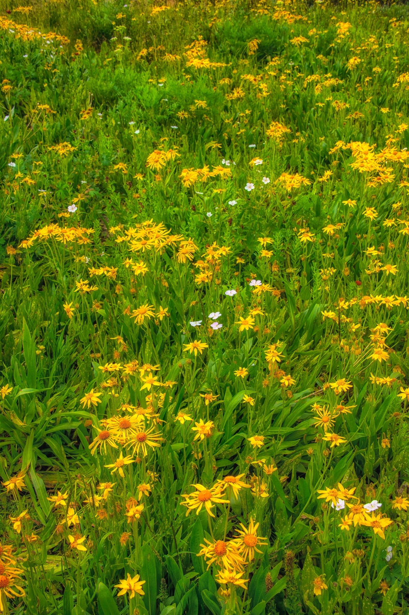 Orange Sneezeweed and other species of wildflowers carpet US Basin on FS 825 in the Red Mountain Mining District of Colorado.