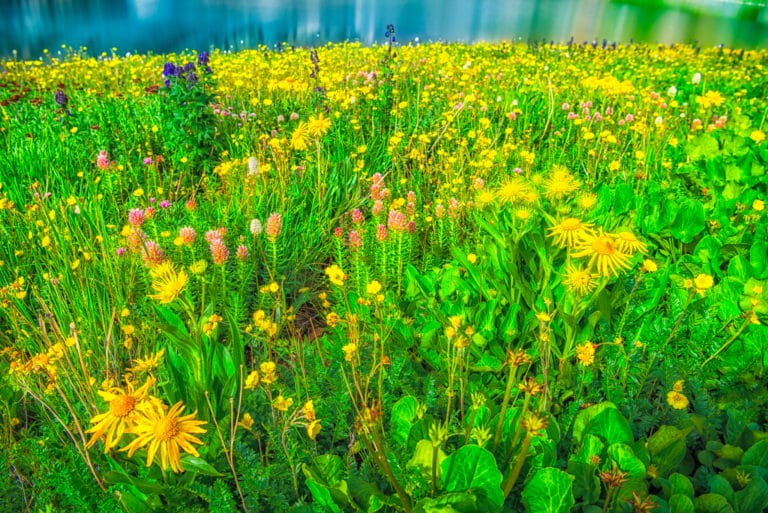Leafy Arnica, Queens, Crown, Bistort, Monkshood, and Alpine Avens grow along the shore of Clear Lake, a hanging lake below Peak 13309 at the end of FS 815, located in the mountains between Ouray and Silverton, Colorado.