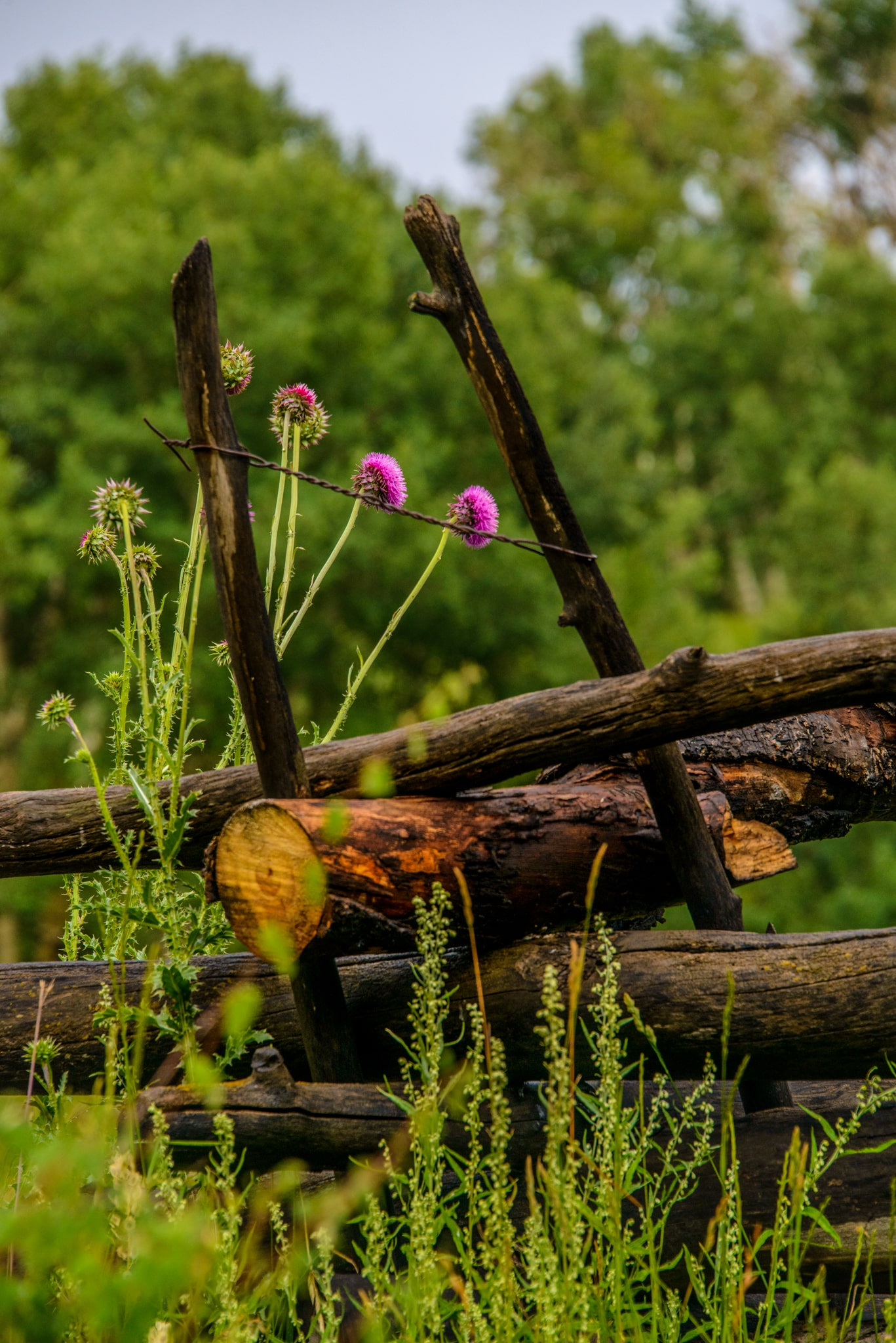 This musk thistle plant is growing through a rail fence along Sawpits Road near Telluride, Colorado.