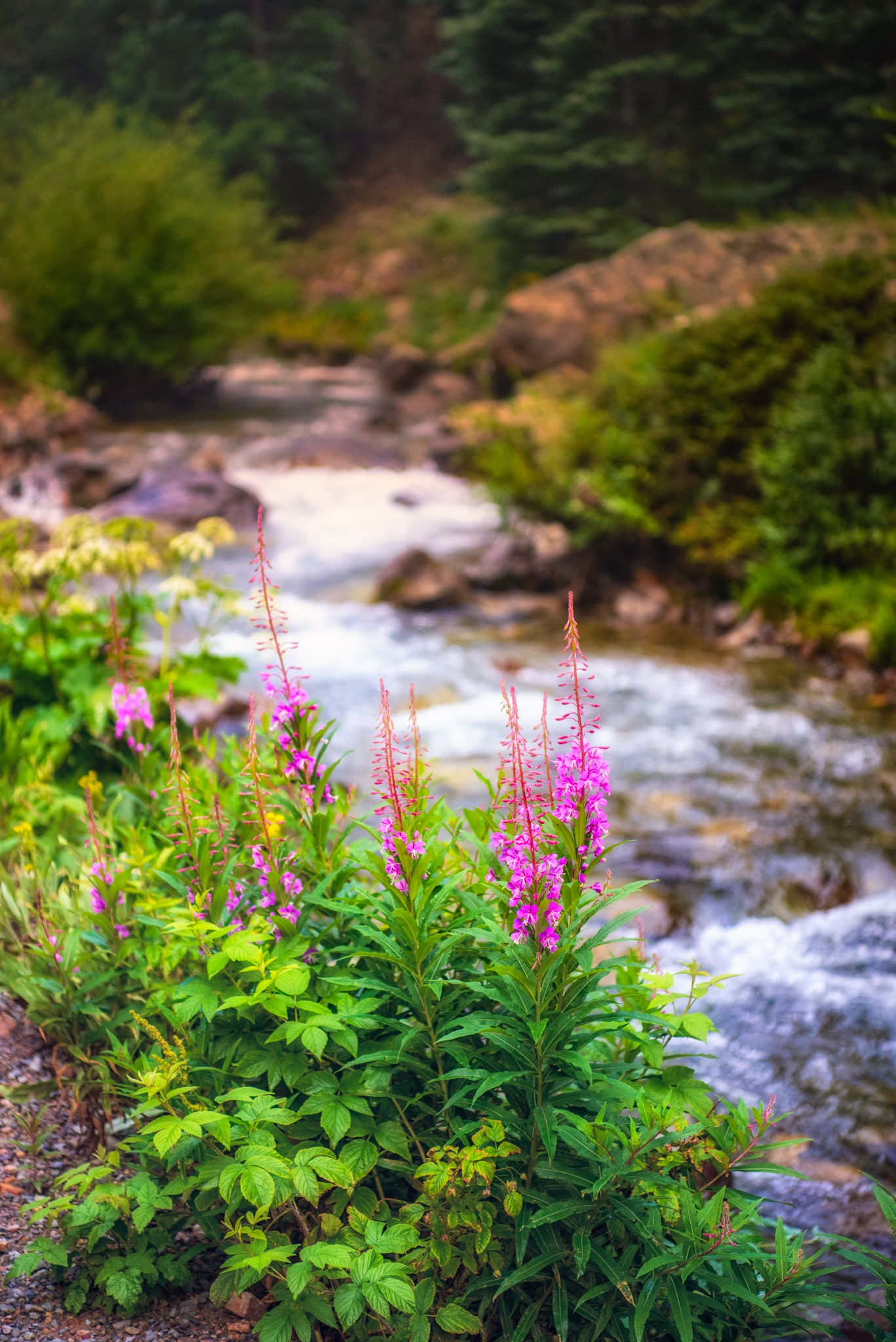 Fireweed grows along an unnamed creek near the intersection of Stony Pass Road (CR3) and San Juan CR 4 near Silverton, Colorado.
