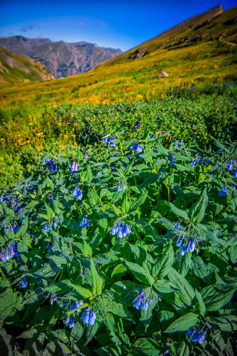 Alpine Mertensia looks very much like Fransican Bluebells; however, this variety grows above tree line. This large patch was found along Stony Pass Road near Silverton, Colorado.