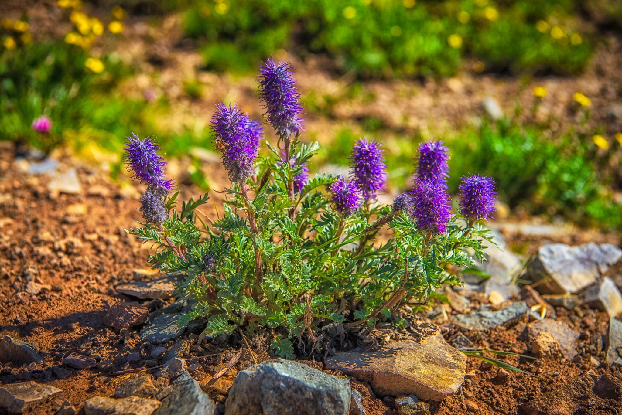 Purple Fringe, or Phacelia sericea, was somewhat sparse along Stony Pass Road above treeline.
