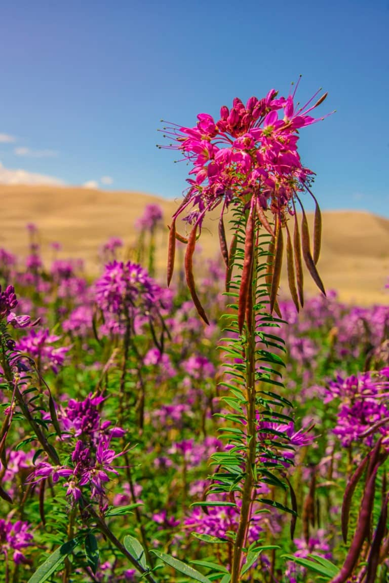 A field of Rocky Mountain Beeplants grow next to the beginning of the Medano Pass Primitive 4x4 raod in Sand Dunes National Park and Preserve in Colorado.