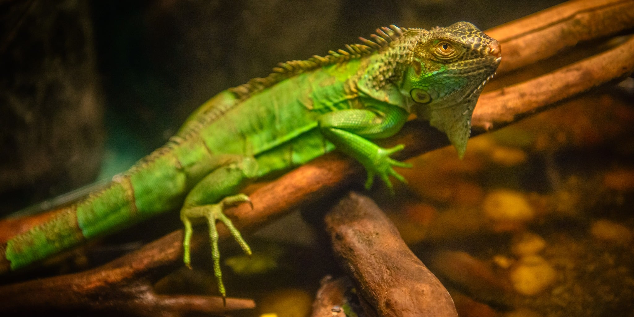 This young Iguana is not shy about looking at the camera. This rescued Iguana is living at Colorado Gators near Hooper, Colorado.