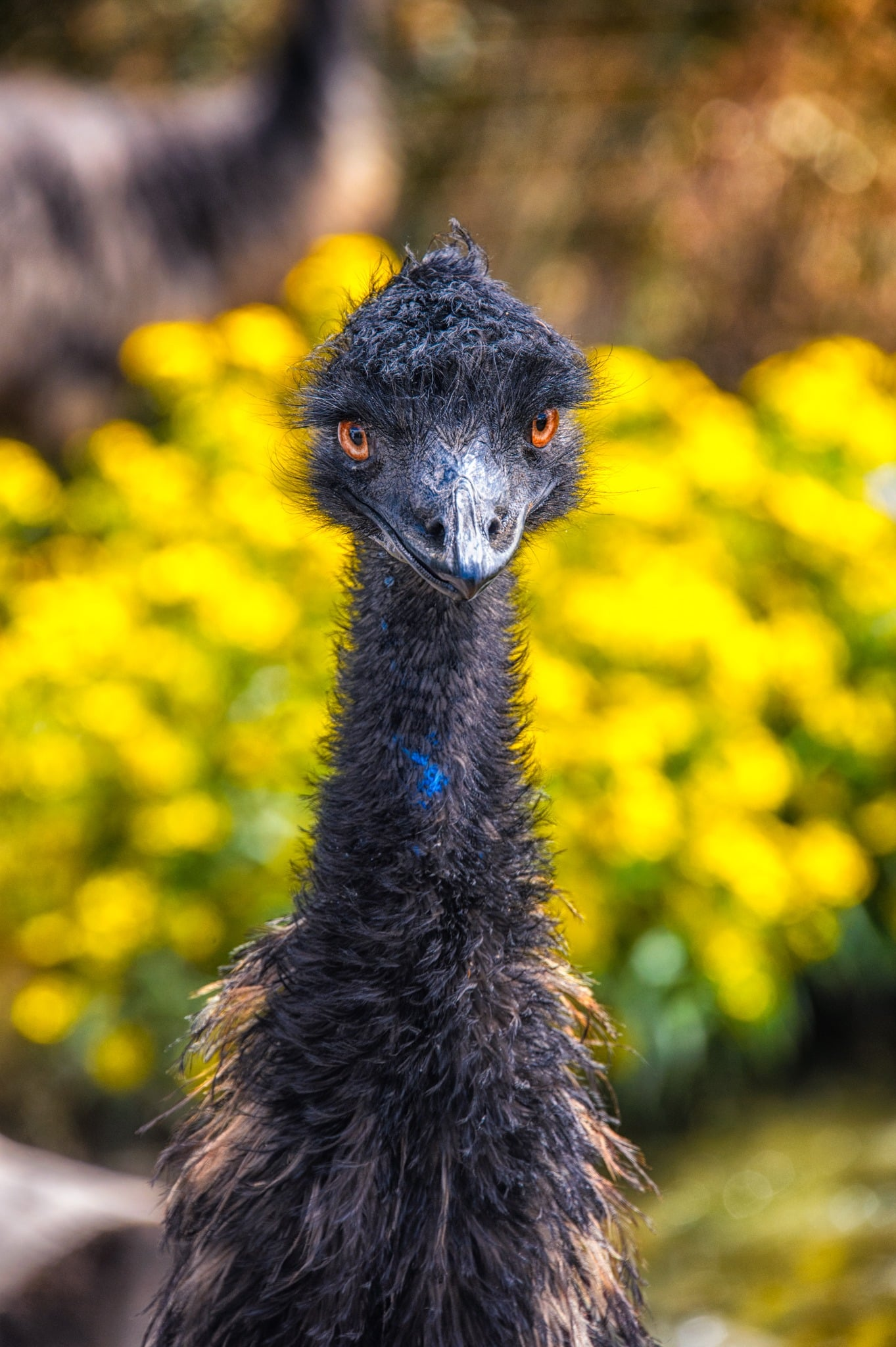 The emu is the second-largest living bird by height, after its flightless relative, the ostrich. There are several emus at the Colorado Gators rescue near Hooper, Colorado.