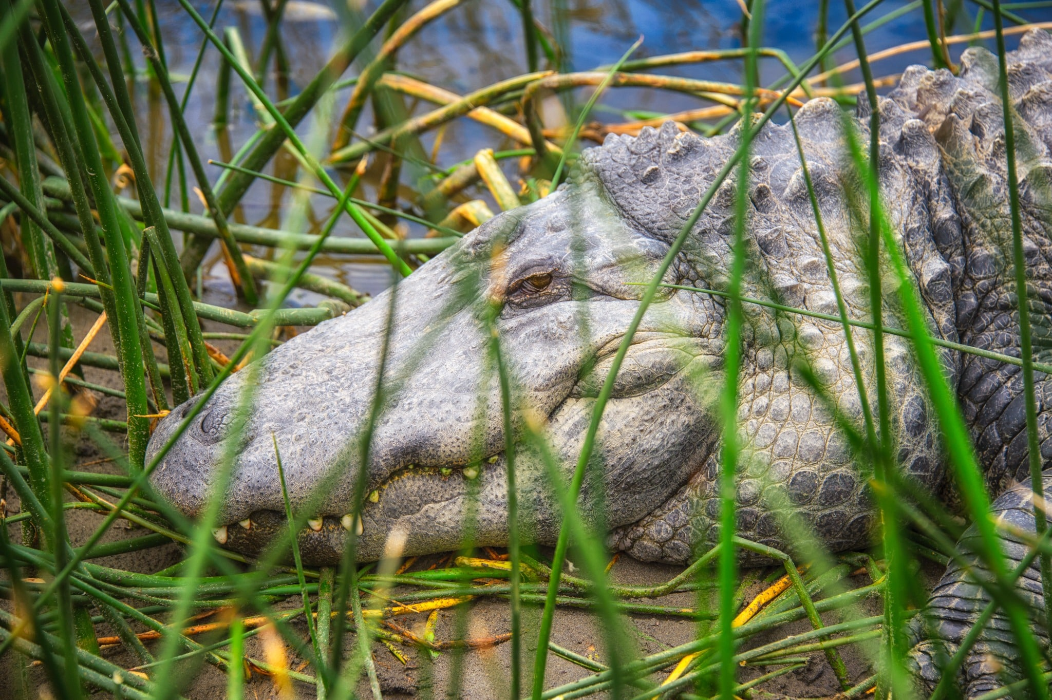 This aged alligator is resting in her own private pond enclosure. She is one of the oldest alligators at the Colorado Gators Reptile Park near Hooper, Colorado.