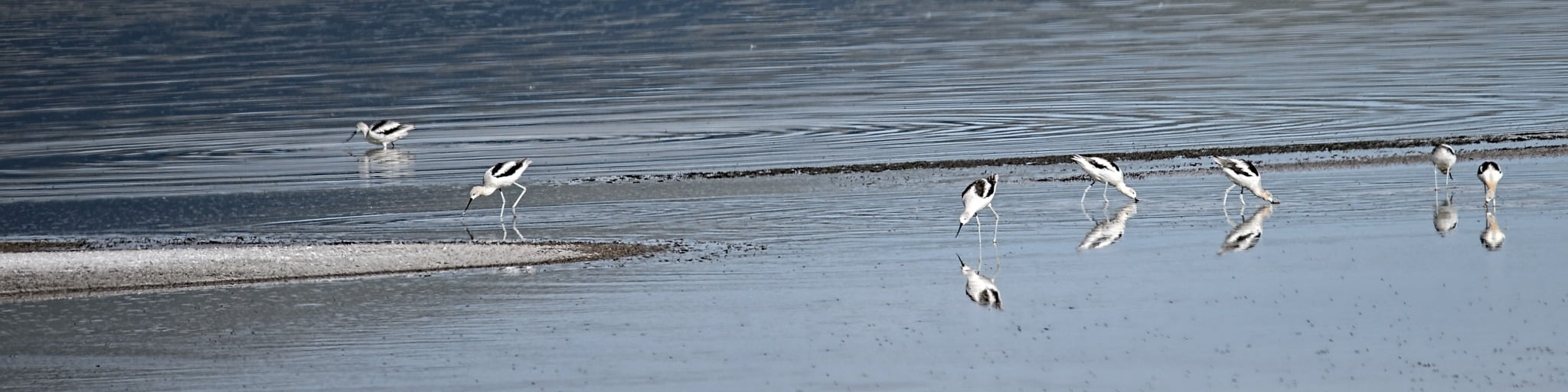 American Avocets feed along the shore of one of the several ponds located in the Blanca Wildlife Habitat Area in the San Luis Valley near Alamosa, Colorado.