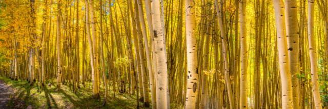 A grove of aspen along a mountain road is luminous with the noonday sun.