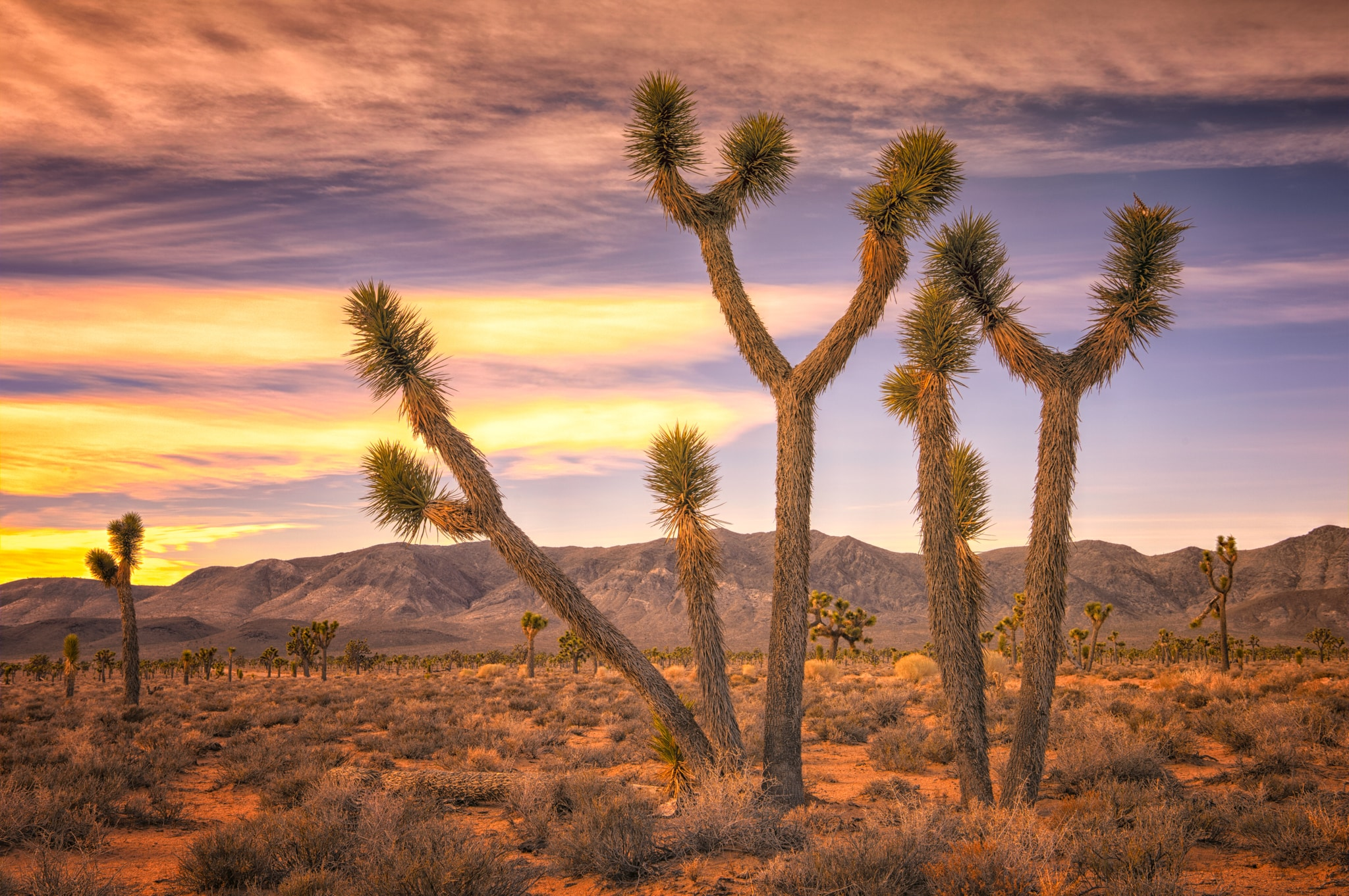 There is a forest of Joshua Trees in the Lee Flat area of Death Valley National Park, which is accessible from the Saline Valley Road off Highway 190 north of Father Crowley Point.