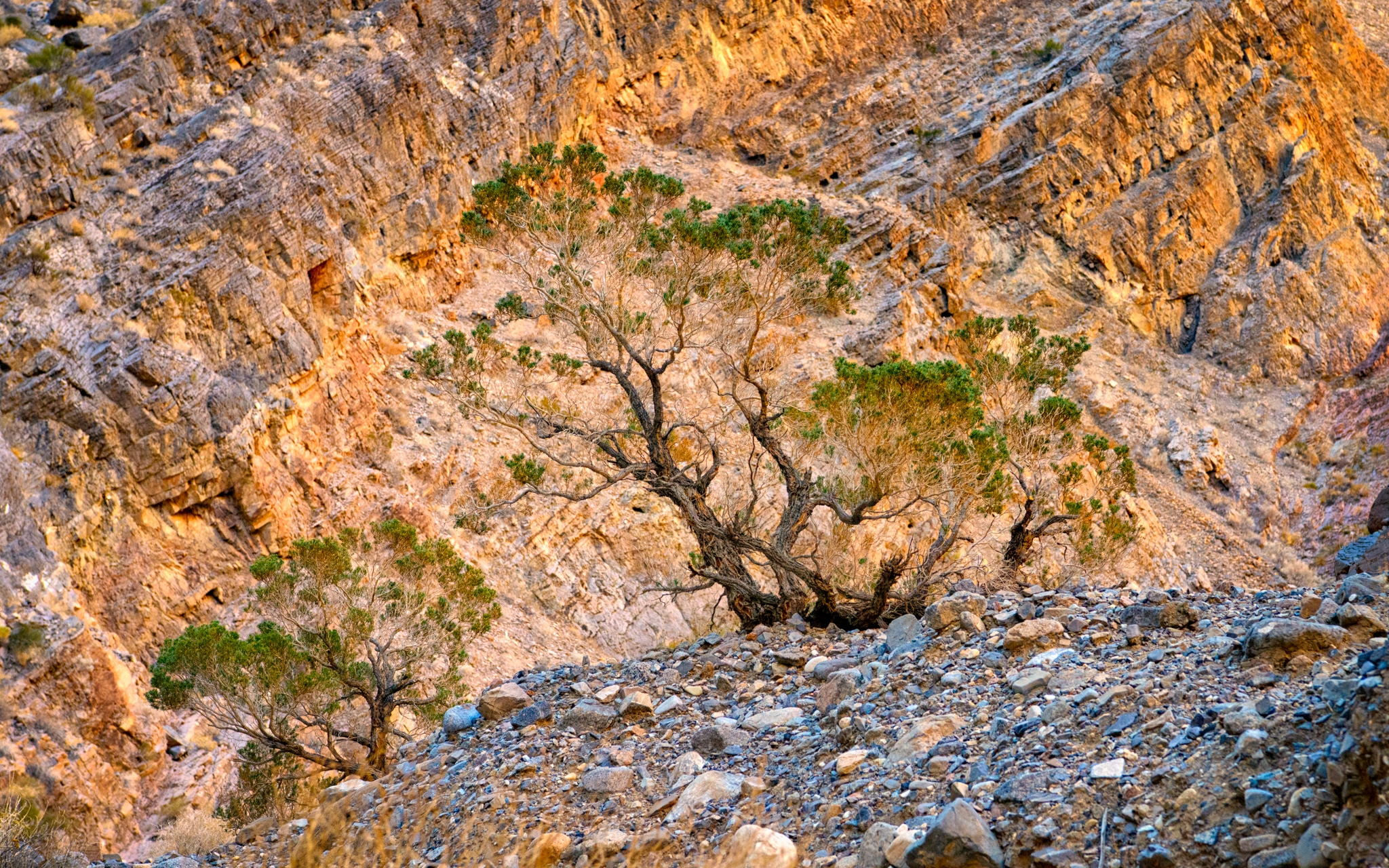 A stunted juniper grows in the alluvial debris on the floor of Marble Canyon. Marble Canyon is accessible from a dirt road that heads west from the airstrip at Stovepipe Wells in Death Valley National Park, California.