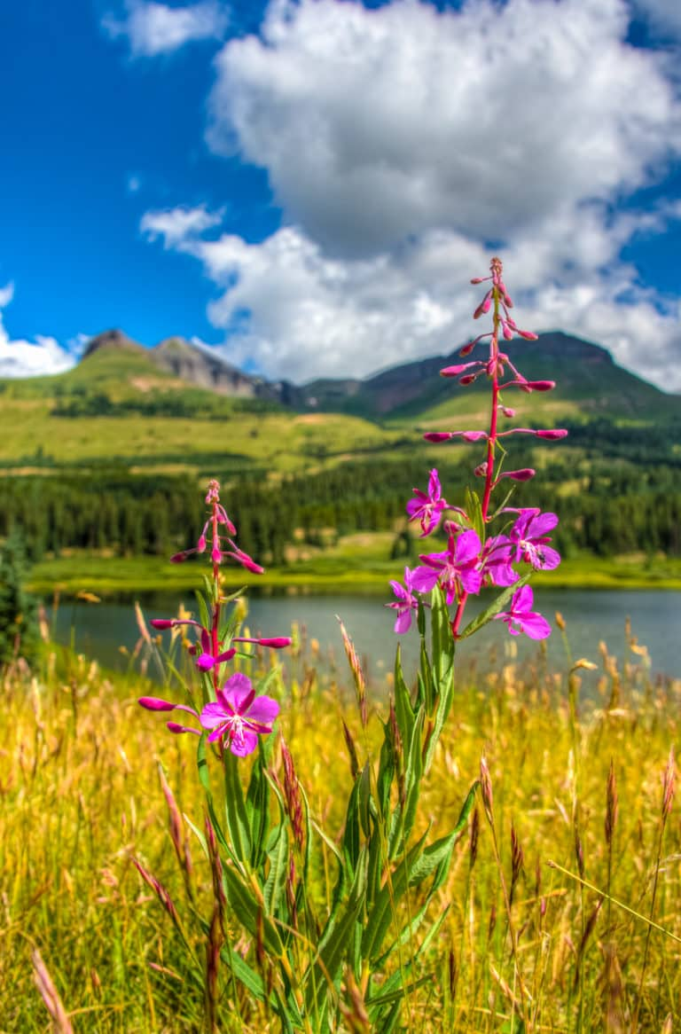 This Fireweed plant is growing near Little Molas Lake, which is off Highway 550 between Ouray and Silverton, Colorado.