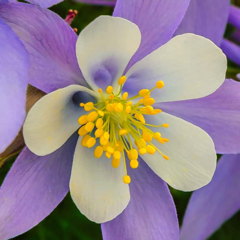 Colorado Columbine grows along Ouray County 31, near Red Mountain Creek in the Red Mountain Mining District of Colorado.