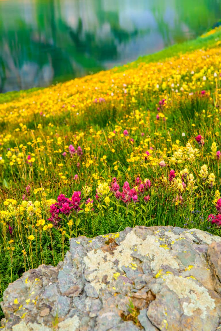 A collection of Alpine Paintbrush and Avens grow along the shore of Clear Lake, a hanging lake below Peak 13309 at the end of FS 815, located in the mountains between Ouray and Silverton, Colorado.
