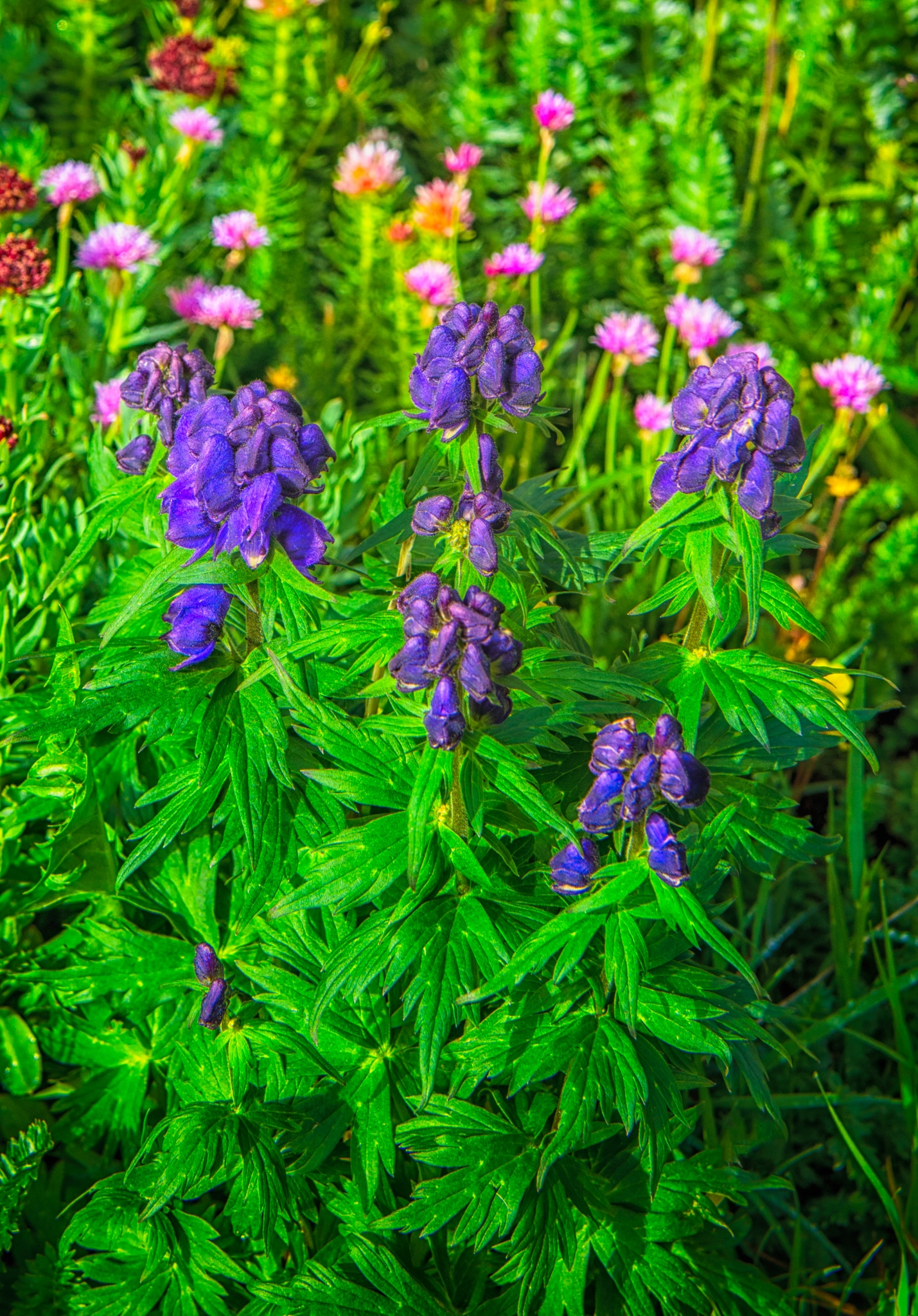 Kings Crown, Monkshood, Avens, and other species of wildflowers grow near Clear Lake, a hanging lake below Peak 13309 at the end of FS 815, located in the mountains between Ouray and Silverton, Colorado.