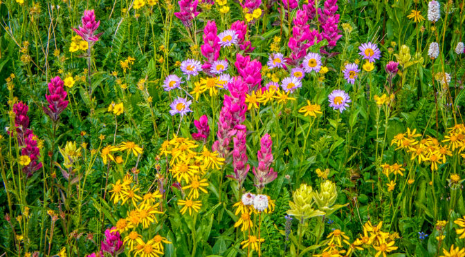 Wildflower Photographs from the San Juan Mountains