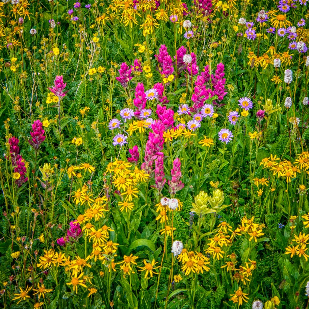 Here is a carpet of San Juan Mountain wildflowers. Alpine Avens, Alpine Mertensia, Alpine Paintbrush, Bistort, ndian Paintbrush, Leafy Arnica, Leafy Bract Aster, Elephant Head, and Alpine Moretensia grow around the shores of Clear Lake, a hanging lake below Peak 13309 at the end of FS 815, located in the mountains between Ouray and Silverton, Colorado.