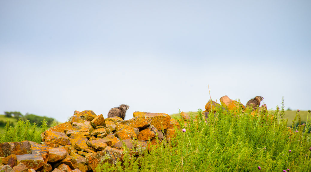 Two Yellow-Bellied Marmots sit atop piles of rock along Sawpits Road near Telluride, Colorado.