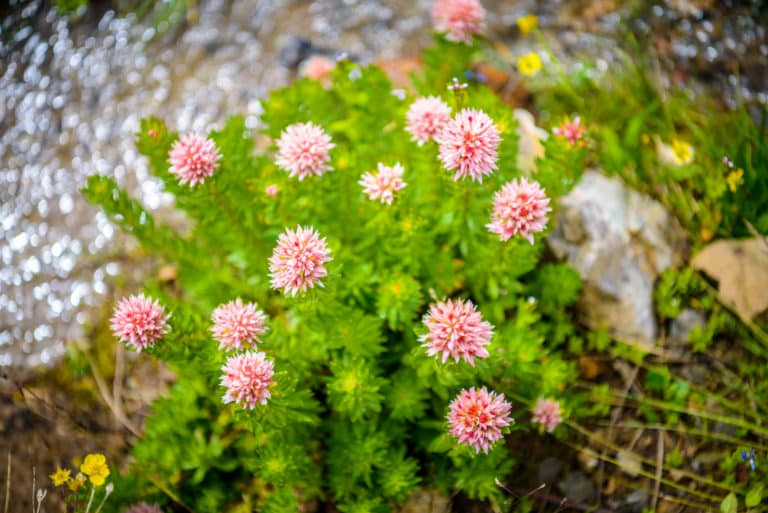 Queens Crown is a sedum with delicate pink flowers. This example was found along Stony Pass Road near Silverton, Colorado.