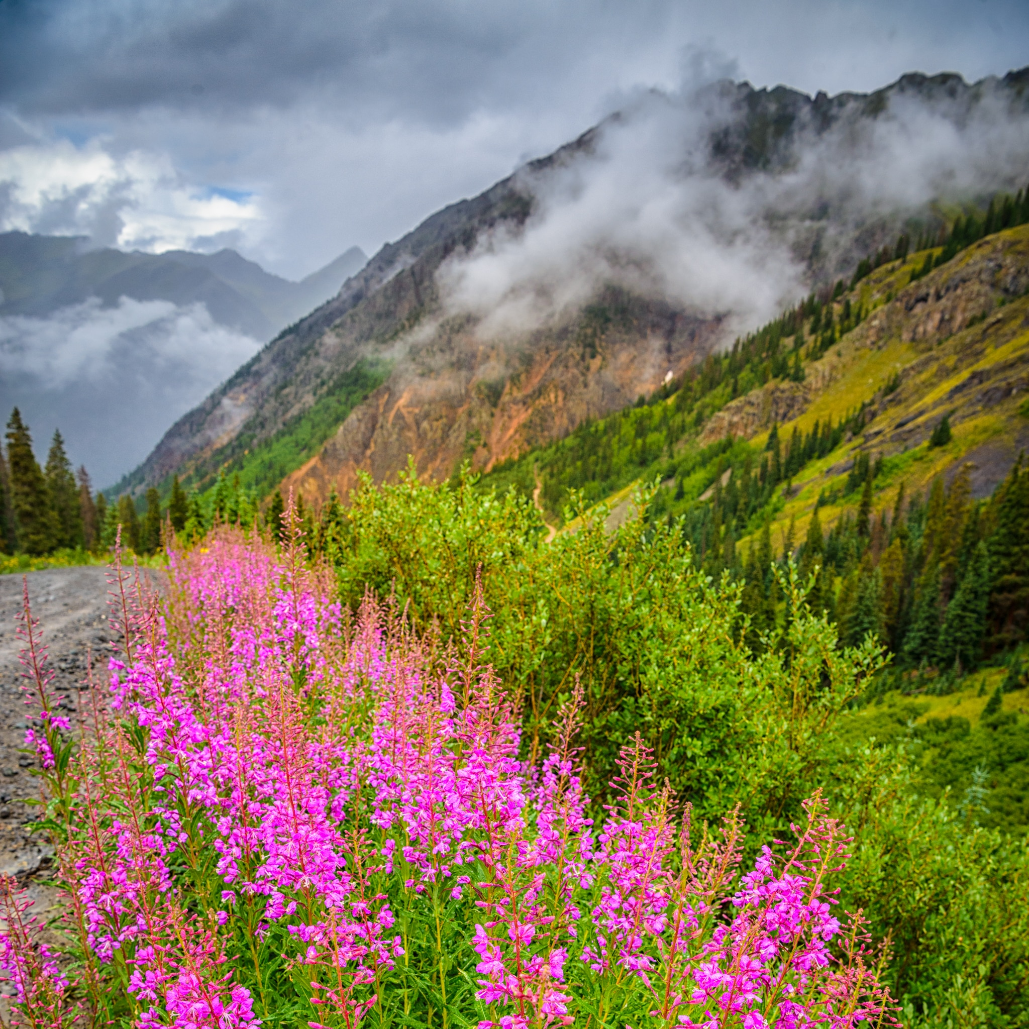 The fireweed along Stony Pass Road near Silverton, Colorado, is especially brilliant in color on this cold and rainy day.