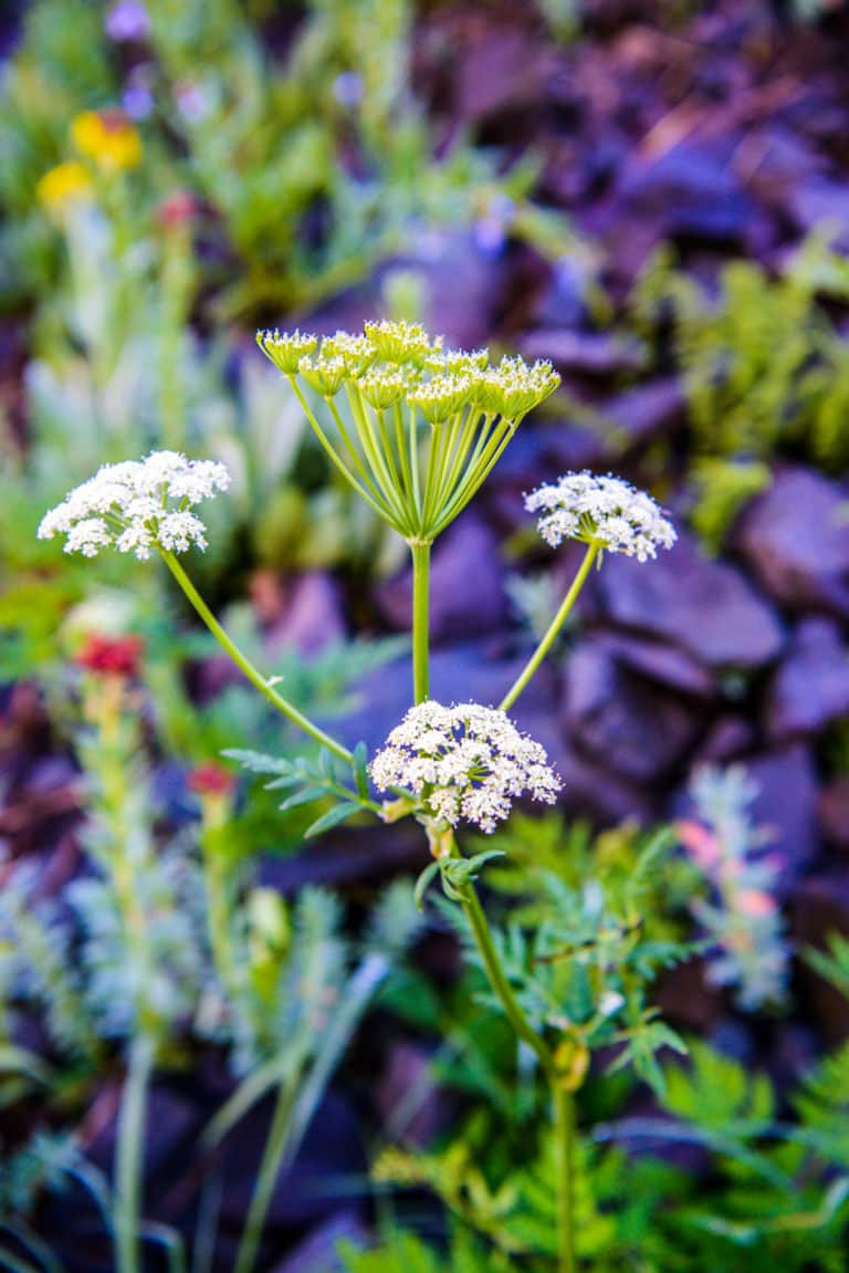 Although it looks like harmless Queen Anne's Lace, this is a specimen of Poinson Hemlock. Notice that the stalk and what leaves you see are not hairy. If you could see to the bottom of the plant, you would see brown splotches on the stem. This example was found along Stony Pass Road near Silverton, Coilorado.