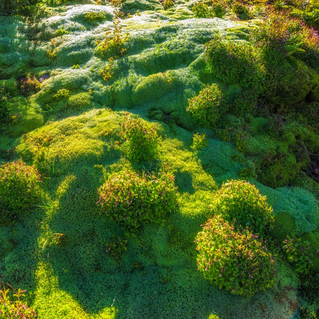 This patch of moss grows arounbd a seep along Stony Pass Road near Silverton, Coilorado.