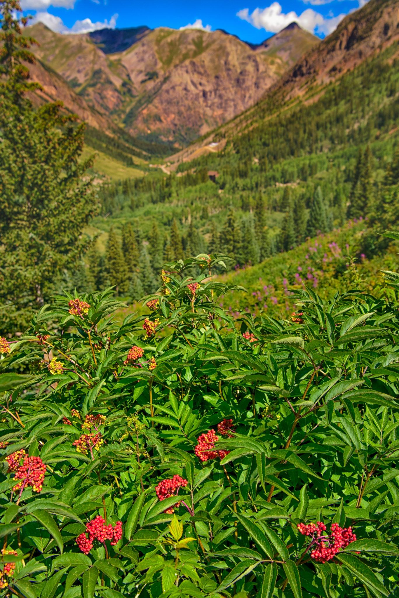 Scattered patches of Red-Berried Elder grow in the meadows along Stony Pass Road below treeline.
