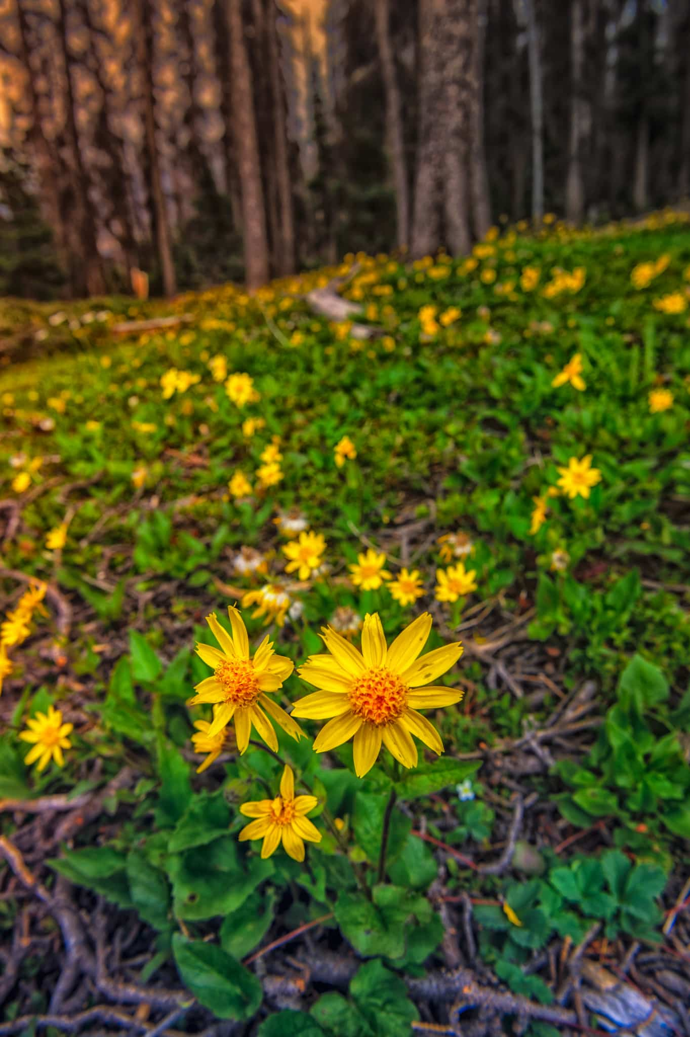This Heart-Leaf Arnica is growing along CO 149 near Slumgullion Pass. Due to the Spruce Bark Beetle infestation, wide swaths of forest on either side of the road have been cleared, creating an ideal environment for wildflowers.
