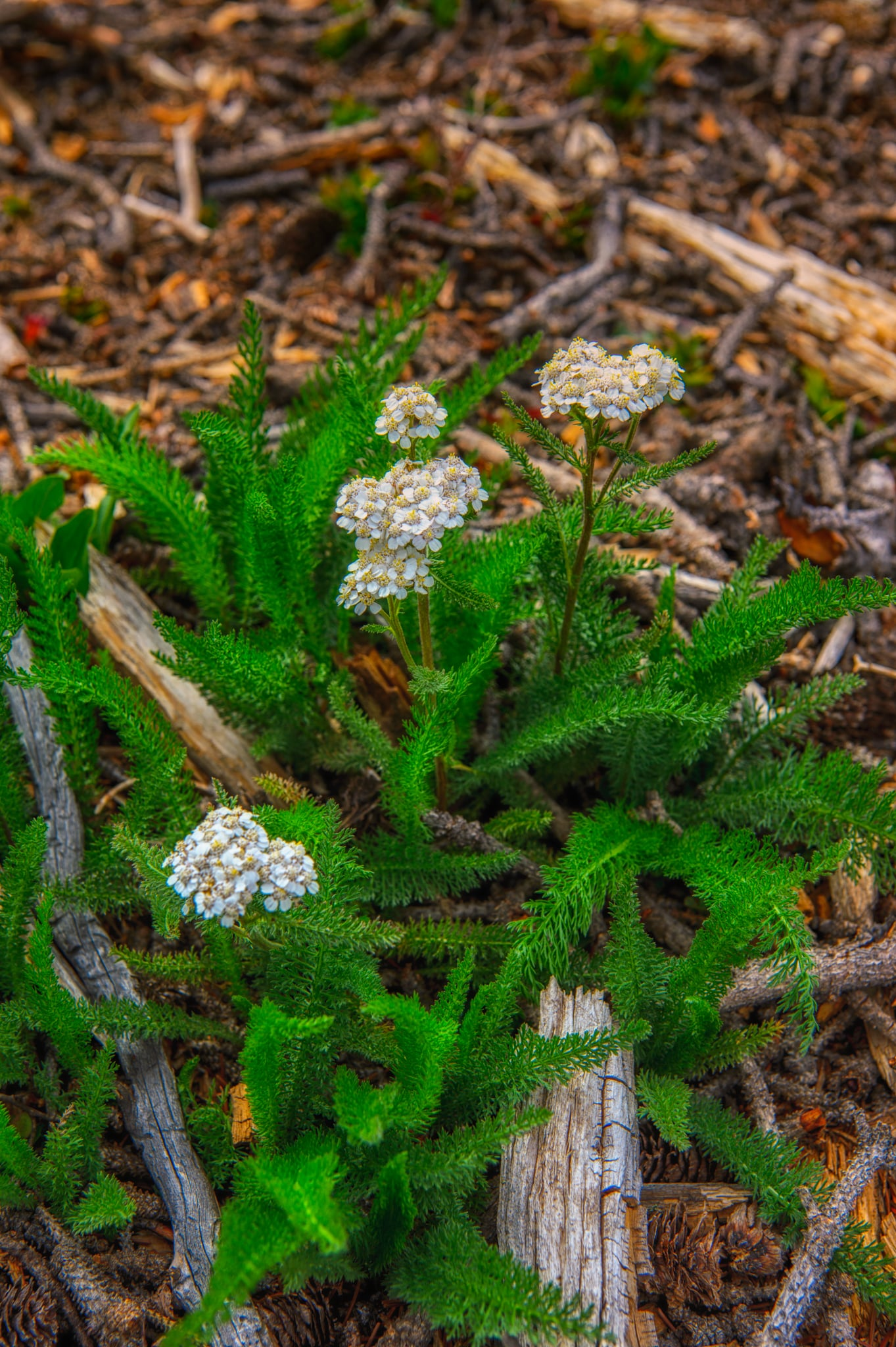 This Yarrow is growing along CO 149 near Slumgullion Pass. Due to the Spruce Bark Beetle infestation, wide swaths of forest on either side of the road have been cleared, creating an ideal environment for wildflowers.