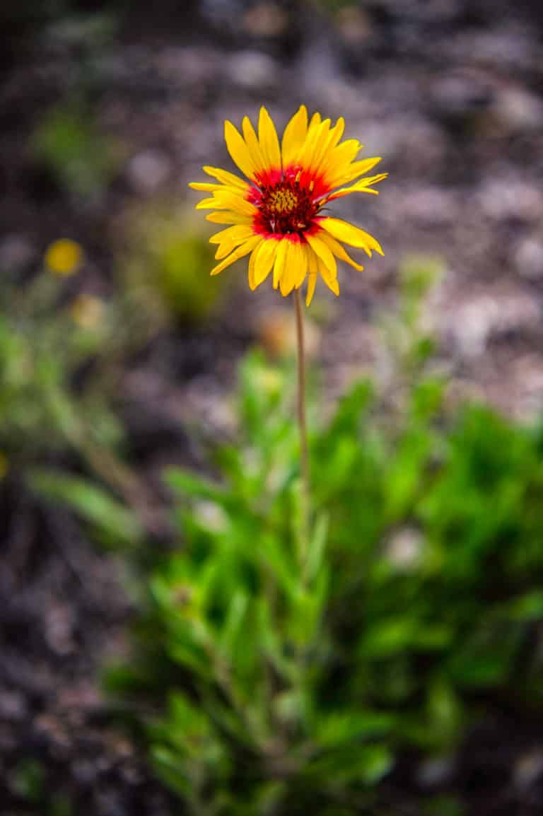 This Gaillardia was found growing in the day use area adjacent to Lake San Cristobal, near Lake City, Colorado.