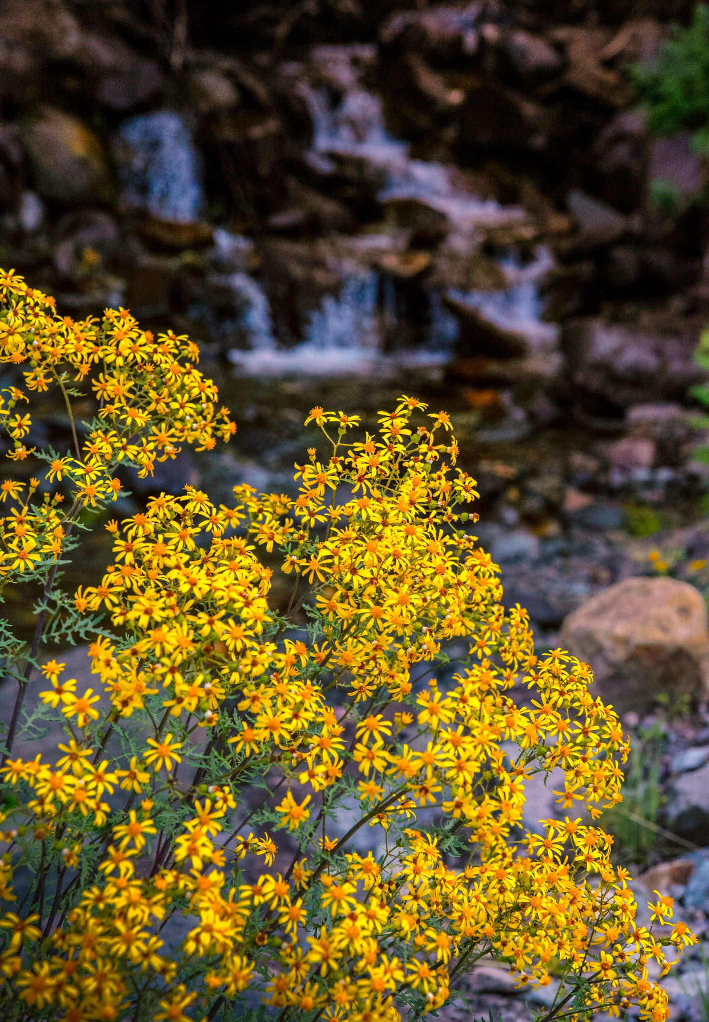 This ragwort grows near a cascade just off the Alpine Loop near Lake City, Colorado.