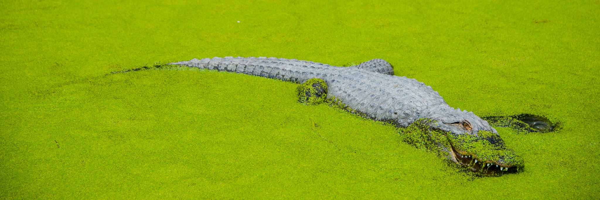 This alligator is snacking on duckweed that grows in one of the large enclosure ponds.