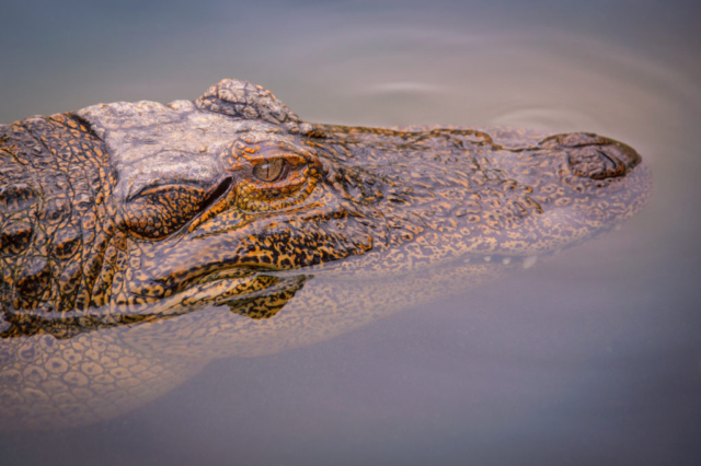 The light catches the golden eye of this American Alligator as he basks in the warm thermal pool at Colorado Gators near Hooper, Colorado.