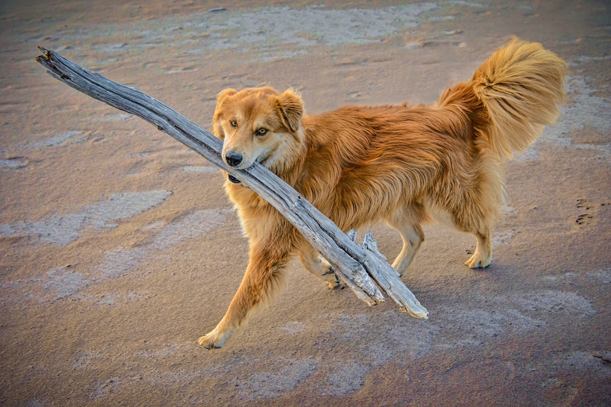 Tukai, the Chow/Sharpei mix, enjoys prancing around with a big stick retreived from along Medano Creek in Great Sand Dunes National Park and Preserve, near Alamosa, Colorado.