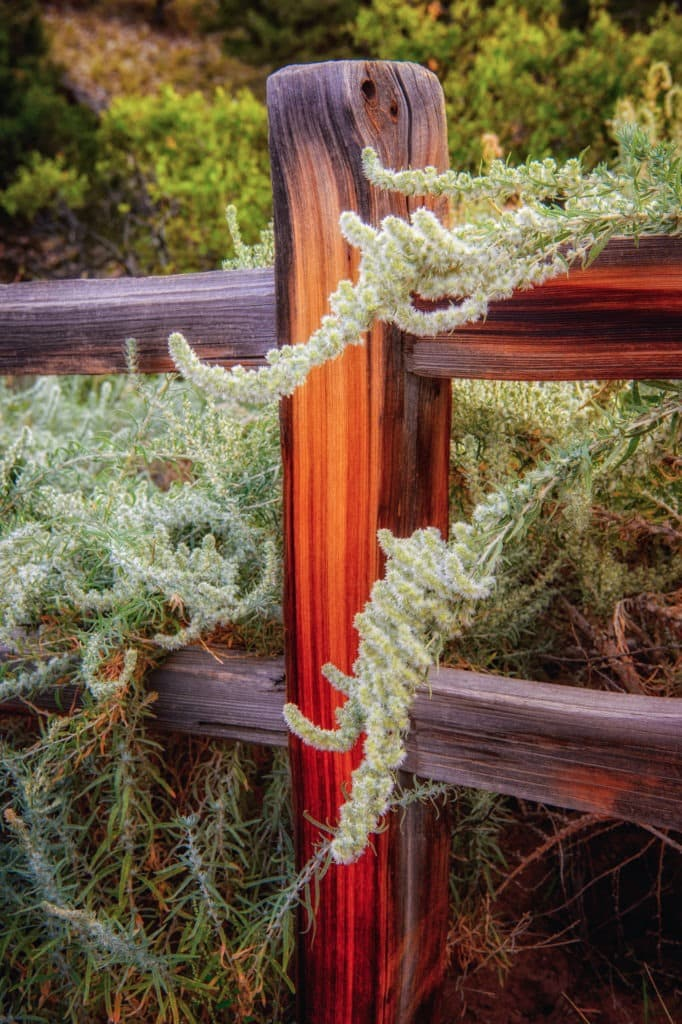 Tendrils of winterfat draps over the rails of a wooden fence in Great Sand Dunes National Park and Preserve near Alamosa, Colorado.