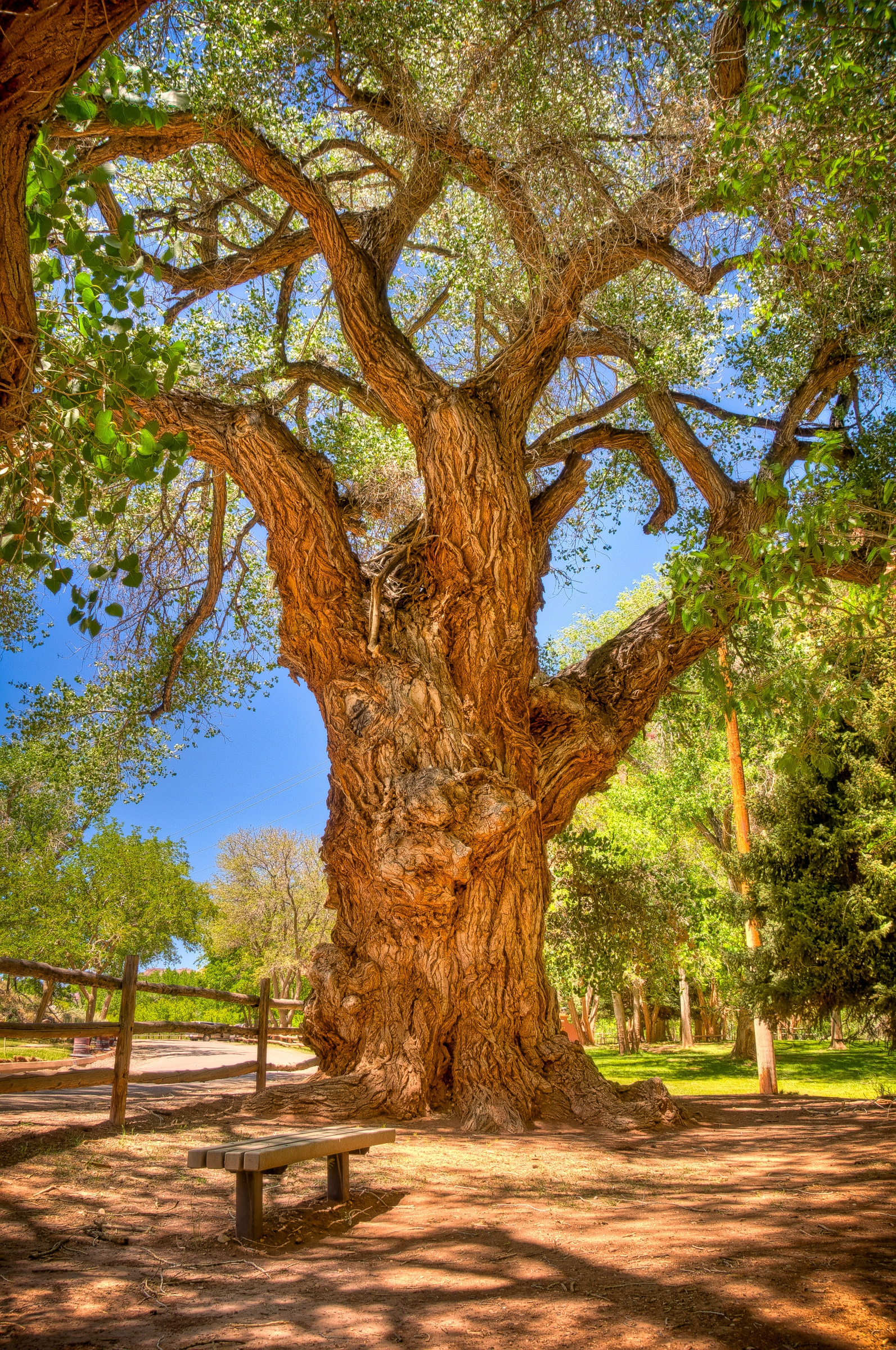 Gnarled and ancient Cottonwood tree along Scenic Drive in the Fruita District of Capitol Reef Natioal Park.