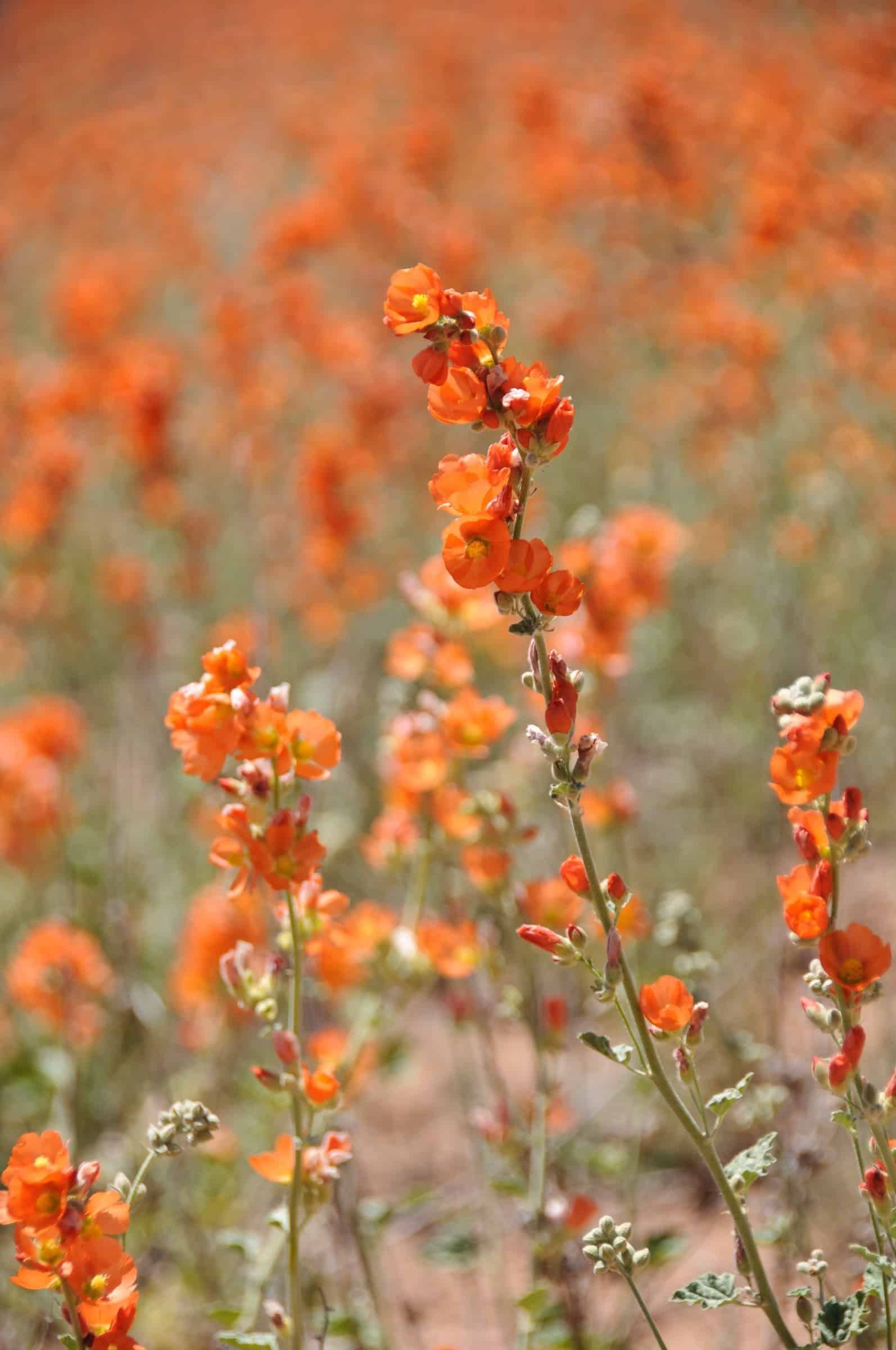 Dense growth of Globe Mallow along the Burr Trail in Capitol Reef Natioal Prk.