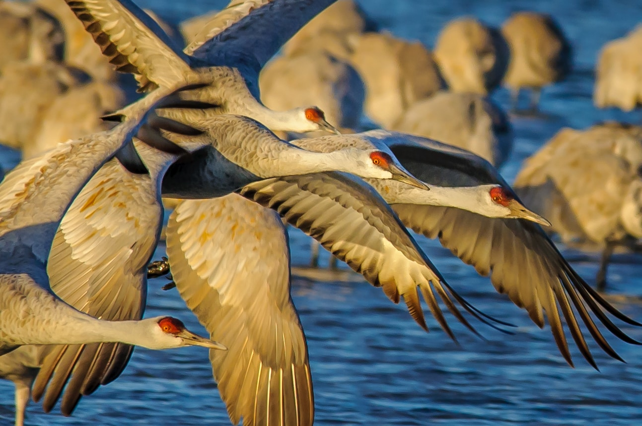 A flock of Greater Sandhill Cranes fly over a pond just outside of Bosque del Apache, near Socorro, New Mexico.