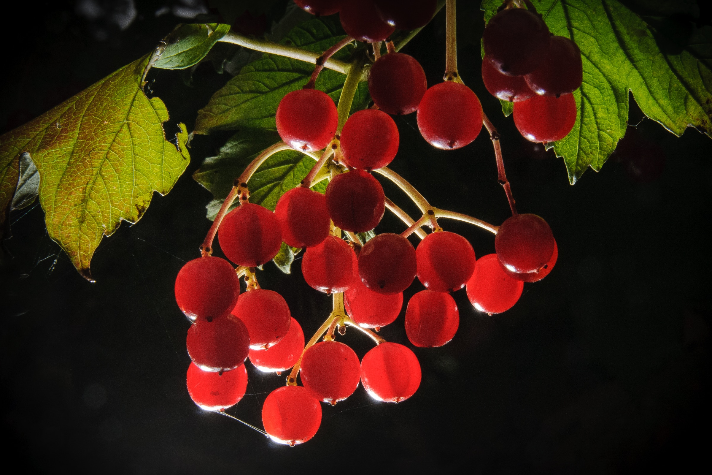 The redcurrant, or red currant is a member of the genus Ribes in the gooseberry family. This specimen grows in Johnson Lake State Recreational Area, Nebraska.