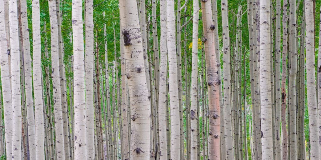 A forest of aspens awaits the coming of fall.