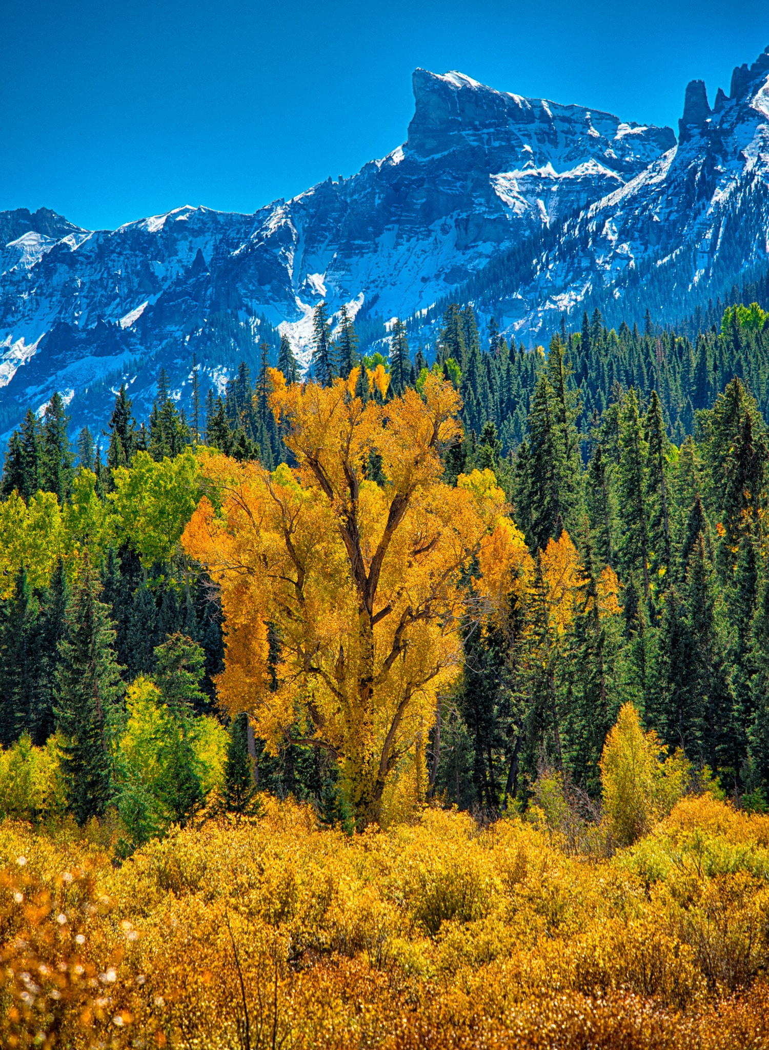A brilliant yellow narrow-leaf cottonwood stands along the East Fork of the Cimarron River with snowy mountains in the distance, as seen from Forest Road 858 near Silver Jack Reservoir.