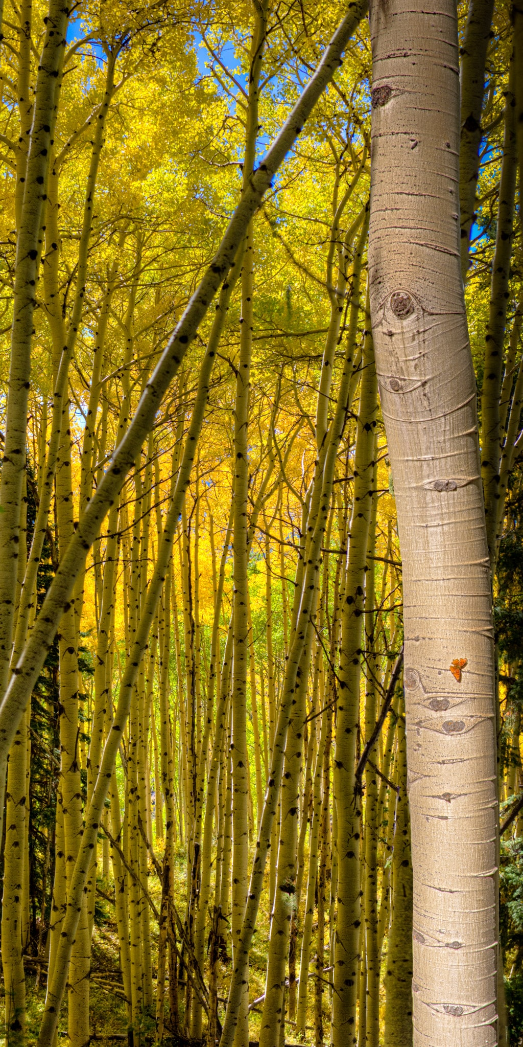 An orange Oreas Comma clings to an aspen bole in an aspen grove in autumn.