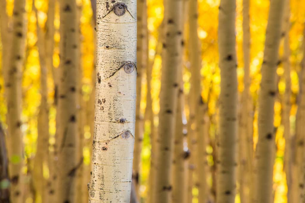 A white aspen bole stands out among its siblings in a Colorado aspen grove in autumn.