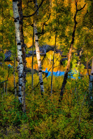 Yellow aspens are reflected in a pond as sunlight illuminates aspen boles in the foreground, on Last Dollar Road near Ridgway, Colorado.