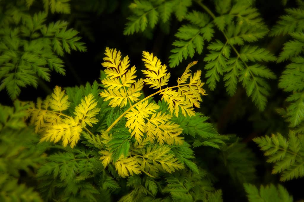 Yellow Leaves among the Green